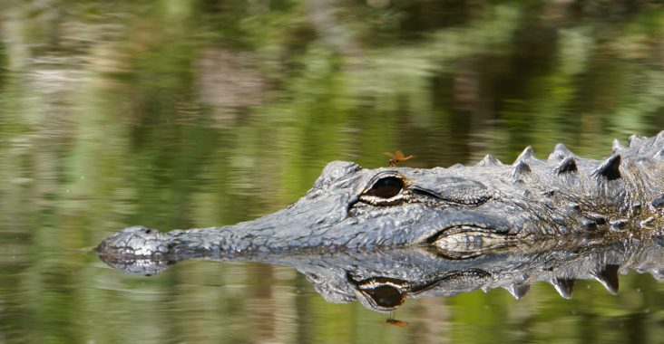 Alligator Everglades Florida