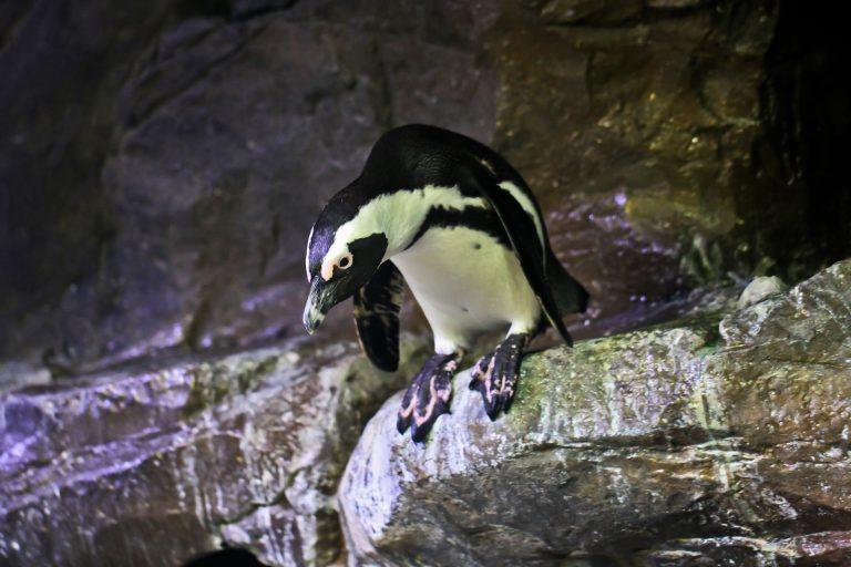 African Penguin Pt. 2