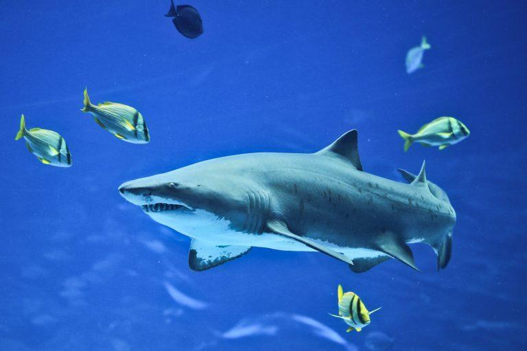 Sandbar Shark Pt. 2