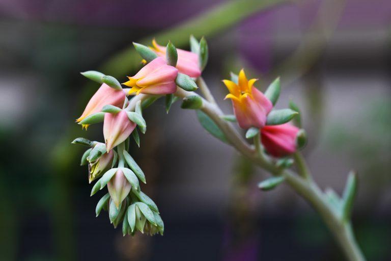 Echeveria Bloom