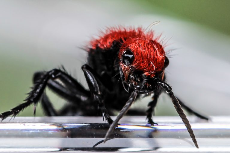 Velvet Ant (which is actually a wasp.)