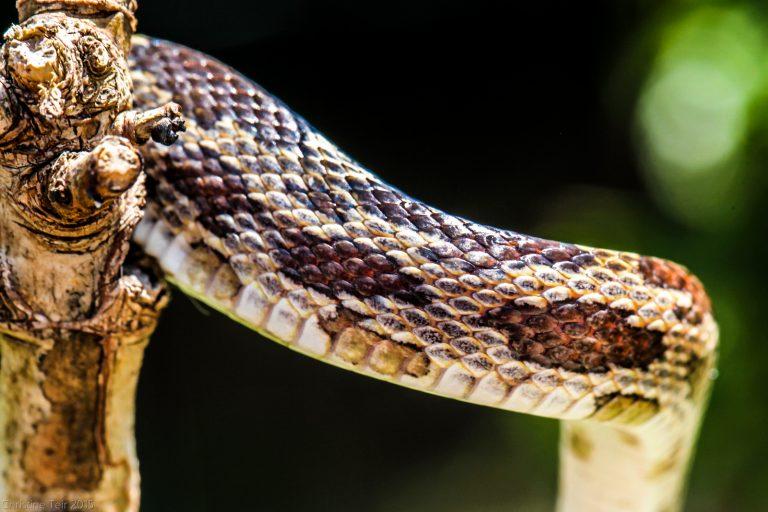 Juvenile Grey Rat Snake, Scales