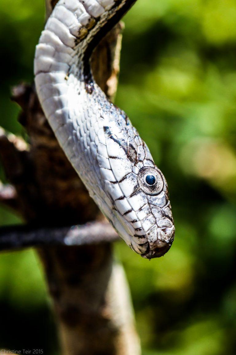 Juvenile Grey Rat Snake #3
