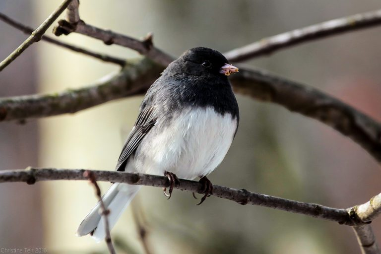 Junco needs to wipe his mouth.