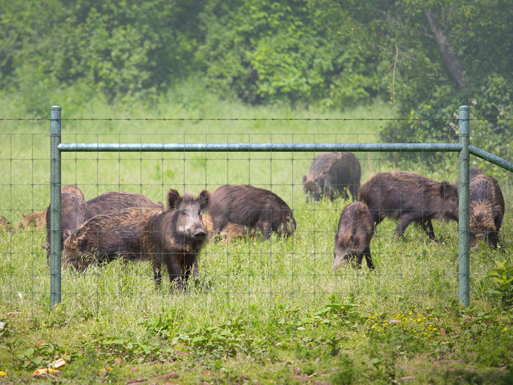 Hog Proof Fences Keep Feral Hogs Out With Fence Solutions By Tejas
