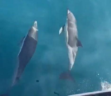 Yunusların tekneyle yarışı kamerada