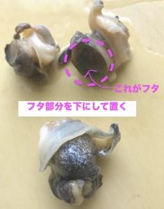 つぶ貝の蓋の部分を下向きにして置く
