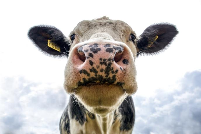 Tekststudio tussen de Drentse koeien