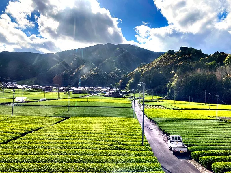 車窓に流れる新茶の畑を見ているうちに川根茶の新茶を買う気にさせてくれます。