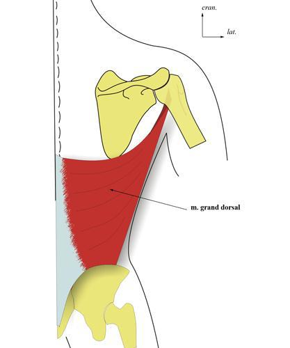 Le muscle grand dorsal