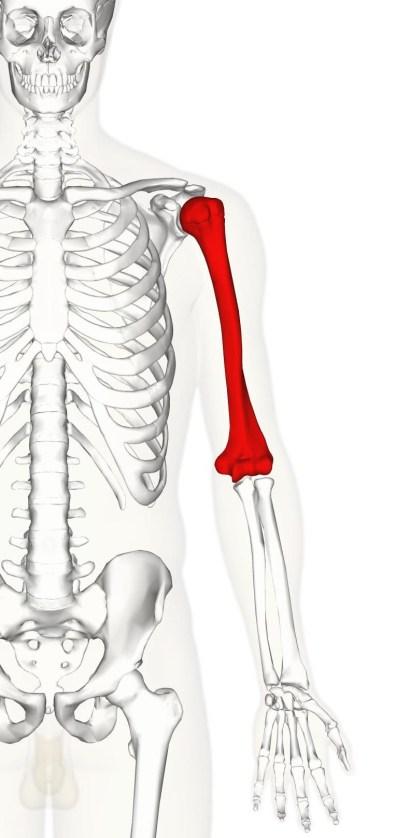 Anatomie HUMERUS-VUE ANTERIEURE Humerus