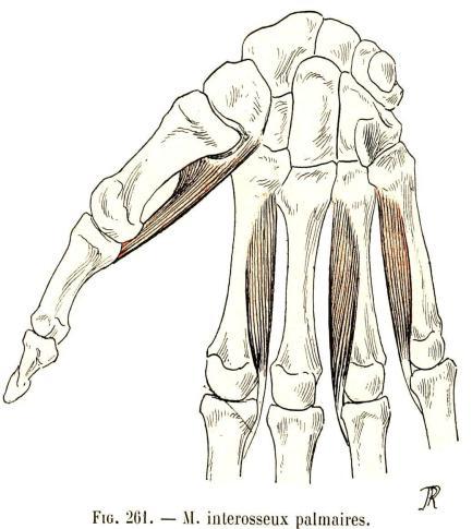 Les muscles de la main interosseux palmaires