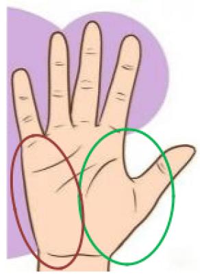 anatomie de la main -  Les muscles de la main