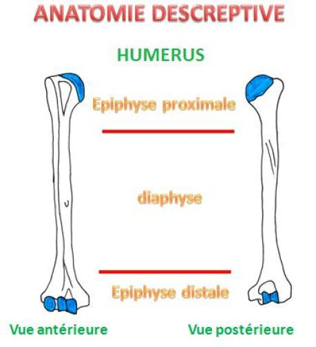 anatomie descriptive-Anatomie HUMERUS