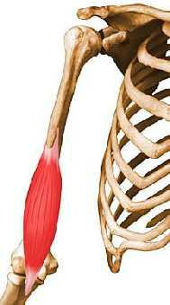 MUSCLE monogastrique