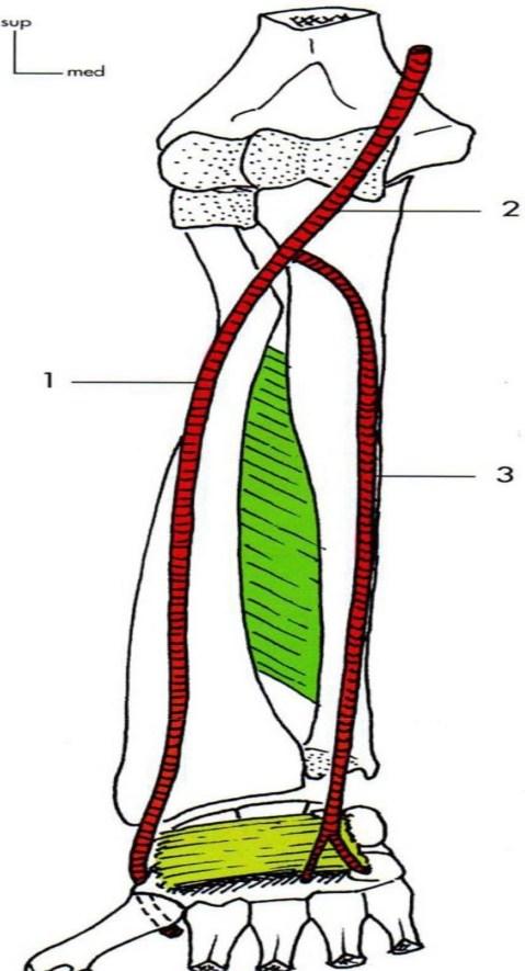 Artere ulnaire Artere brachiale Artere radiale