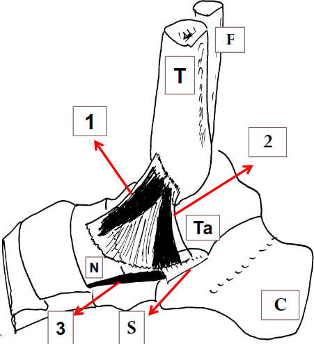 Ligament collateral medial plan superficiel
