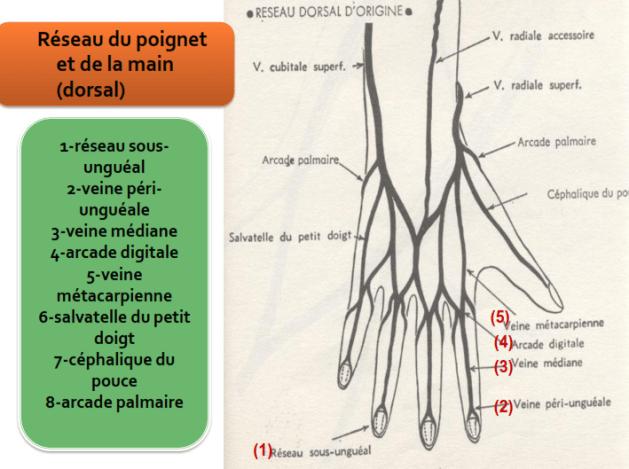 Reseau du poignet et de la main