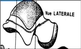 Surface malleolaire laterale du talus