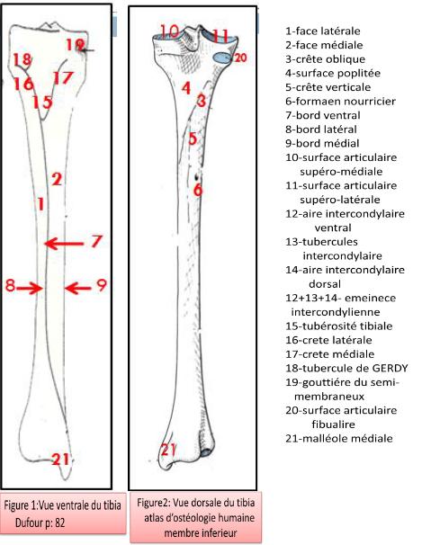 Anatomie du TIBIA anatomie palpatoire