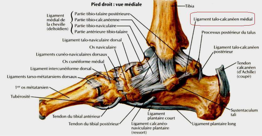 les articulations du pied vue mediale du pied