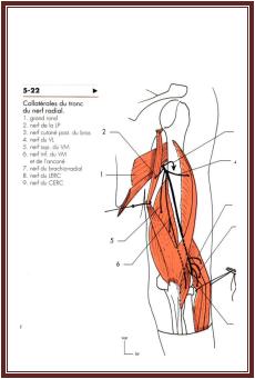 Nerf radial anatomie De l'appareil locomoteur tome 2 Michel Dufour page 340