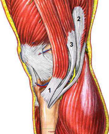 Les muscles de la patte d oie
