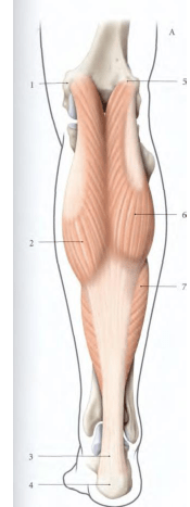 Origine du muscle gastrocnemiens medial et lateral