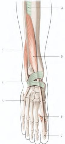 le muscle long extenseur de