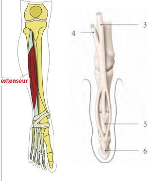 le muscle long extenseur des orteils terminaison