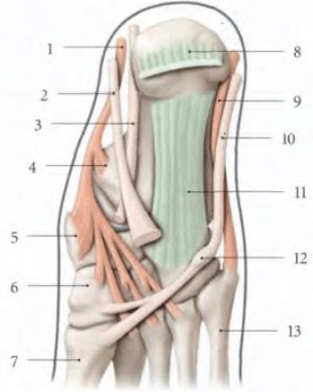le muscle long fibulaire terminaison Os naviculaire