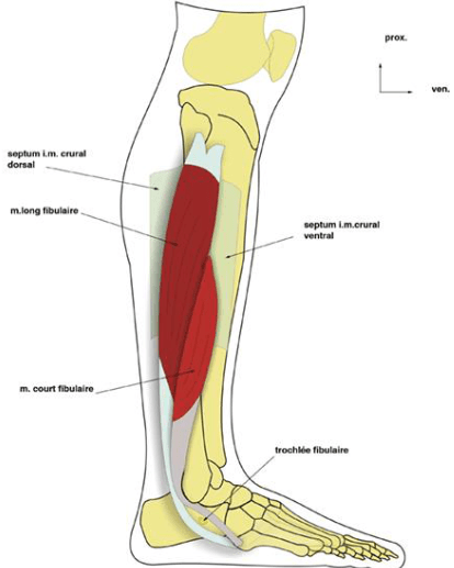 le muscle long fibulaire