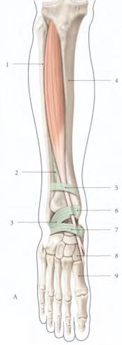 le muscle tibial anterieur 1