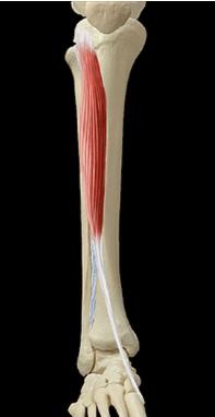 le muscle tibial anterieur