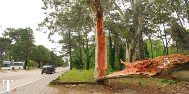 Parte del árbol caído en Boulevard 102. (Fotos Ricardo Stinco)