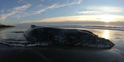 La ballena jorobada rescatada en Mar del Tuyú en octubre último