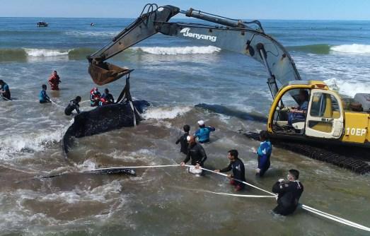 Rescate ballena jorobada Mar del Tuyu VIII