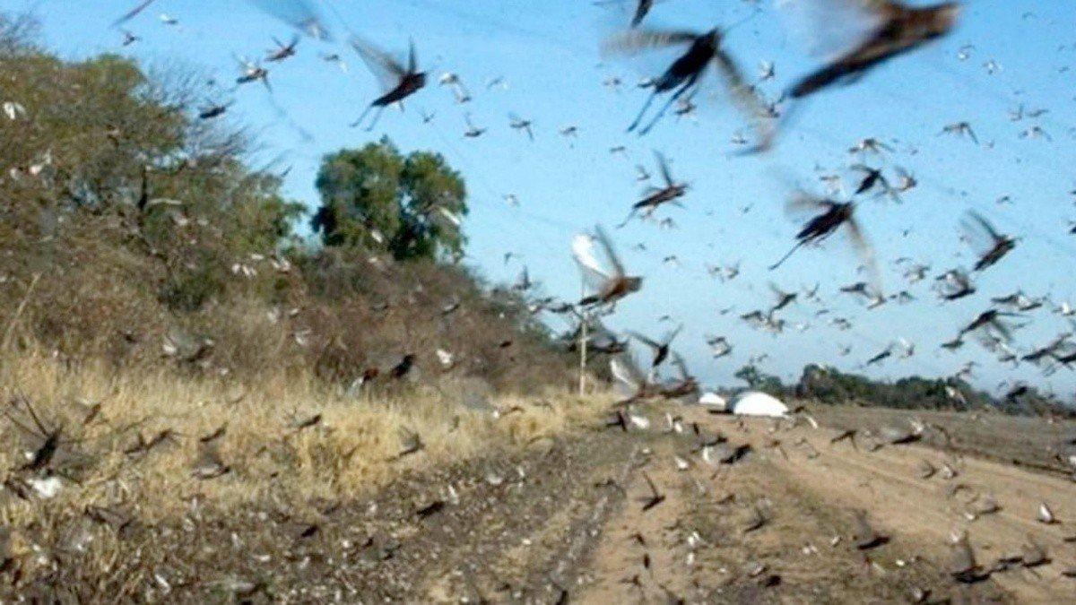 Una plaga de langostas avanza por Argentina y mantiene en alerta a Brasil