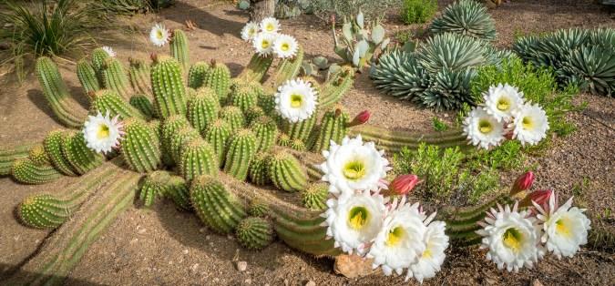 Argentine Cactus Bloom