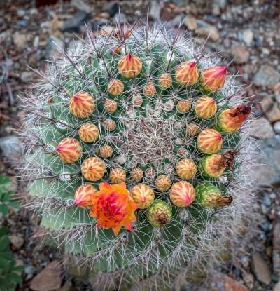 Barrell Cactus Buds