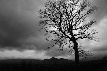 Bullock Tree in Ireland