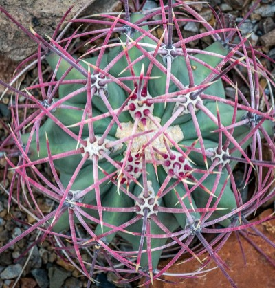 Coville Barrell Cactus