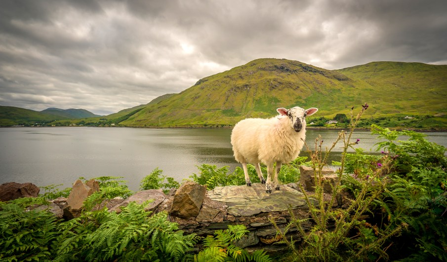 Sheep on Wall, Ireland