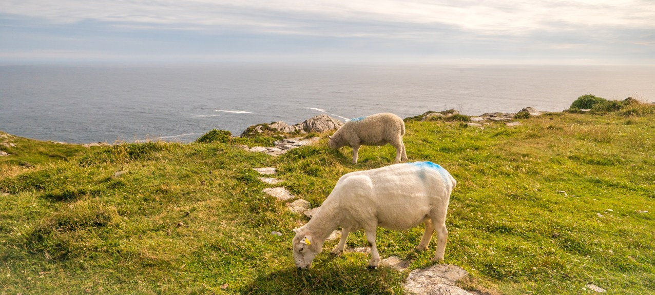Sheeps head Sheep