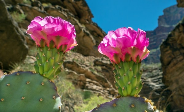 Prickly Pear Flowers Upshot