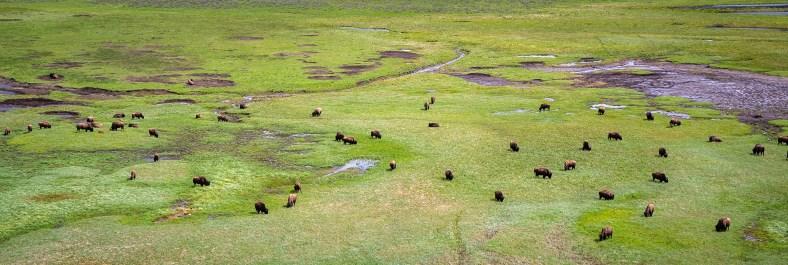 Yellowstone - Bison Herd