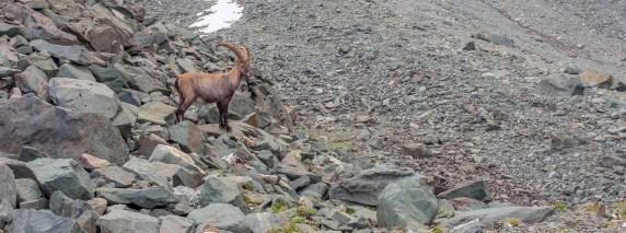 Ibex just past Preflueri