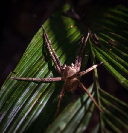 brazillian wandering spider