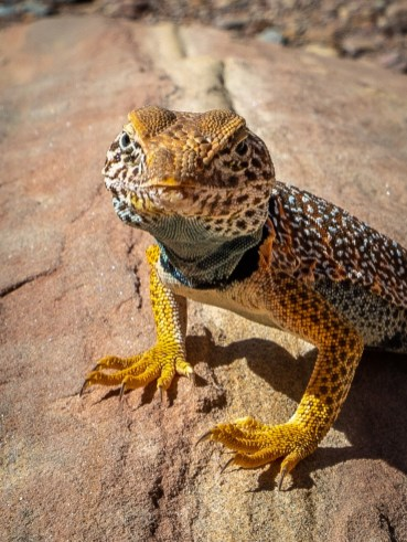 Capitol-Reef-Colared-Lizard-CU