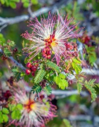 Mesquite Mistletoe